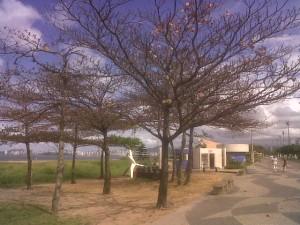 Castanheiras nuas no inverno da Praia de Camburi